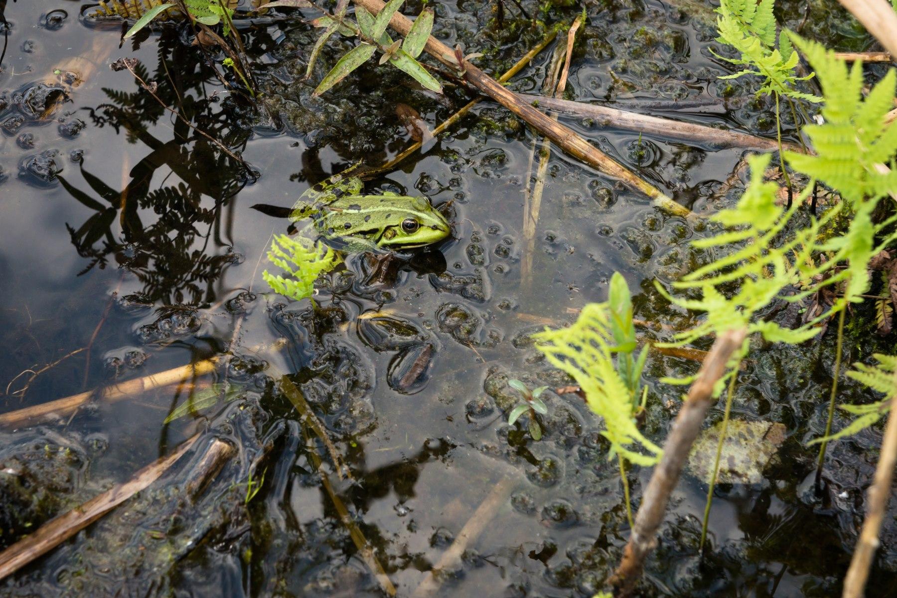 Zielona żaba w wodzie
