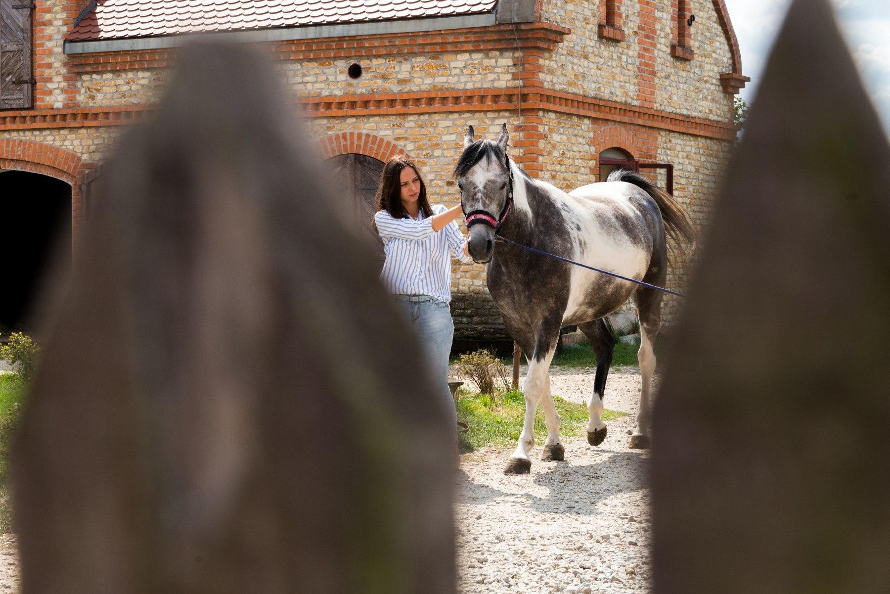 Siwy koń prowadzony przez dziewczynę